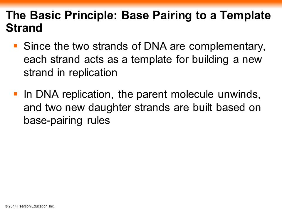 © 2014 Pearson Education, Inc. The Basic Principle: Base Pairing to a Template Strand  Since the two strands of DNA are complementary, each strand ac