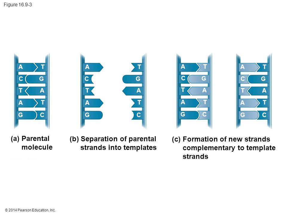 © 2014 Pearson Education, Inc. Figure 16.9-3 (a) Parental molecule (b) Separation of parental strands into templates A A A T T T G GC C A A A T T T G