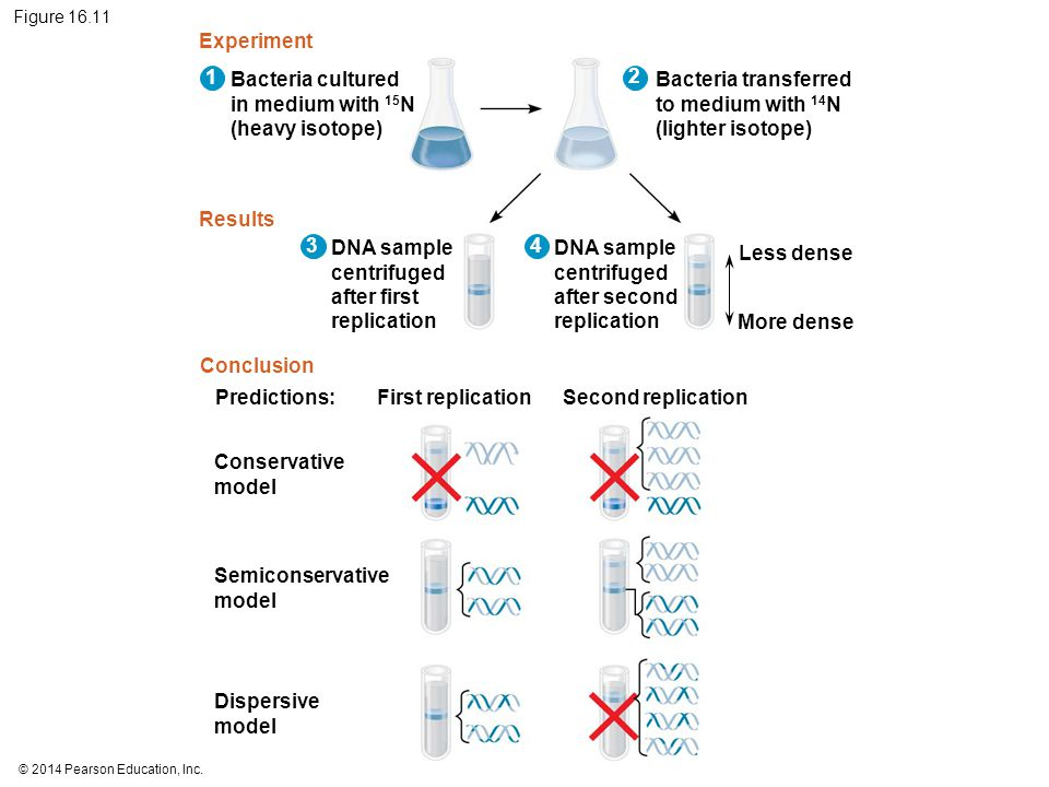 © 2014 Pearson Education, Inc. Figure 16.11 Bacteria cultured in medium with 15 N (heavy isotope) Experiment Results Conclusion Bacteria transferred t