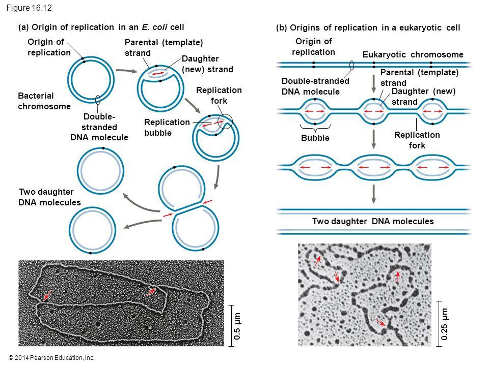 © 2014 Pearson Education, Inc. Figure 16.12 Origin of replication 0.5 µm 0.25 µm Bacterial chromosome Two daughter DNA molecules Replication bubble Pa