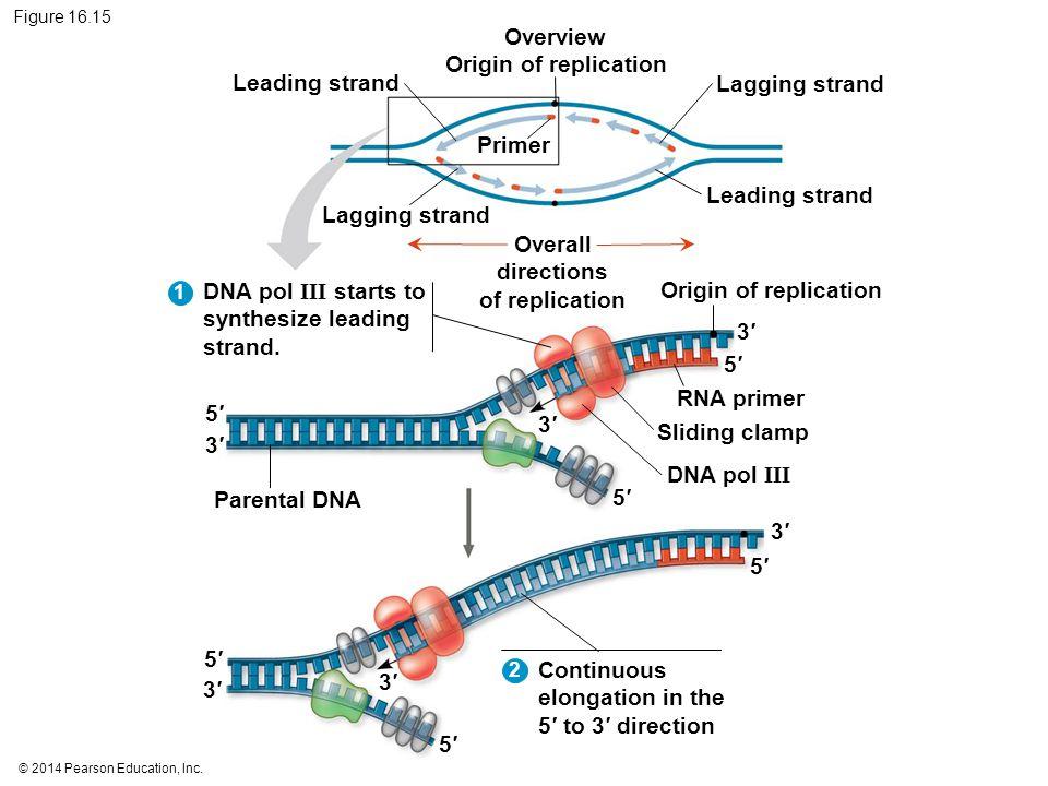 © 2014 Pearson Education, Inc. Figure 16.15 Leading strand Lagging strand Leading strand Parental DNA Lagging strand Primer Overview Origin of replica