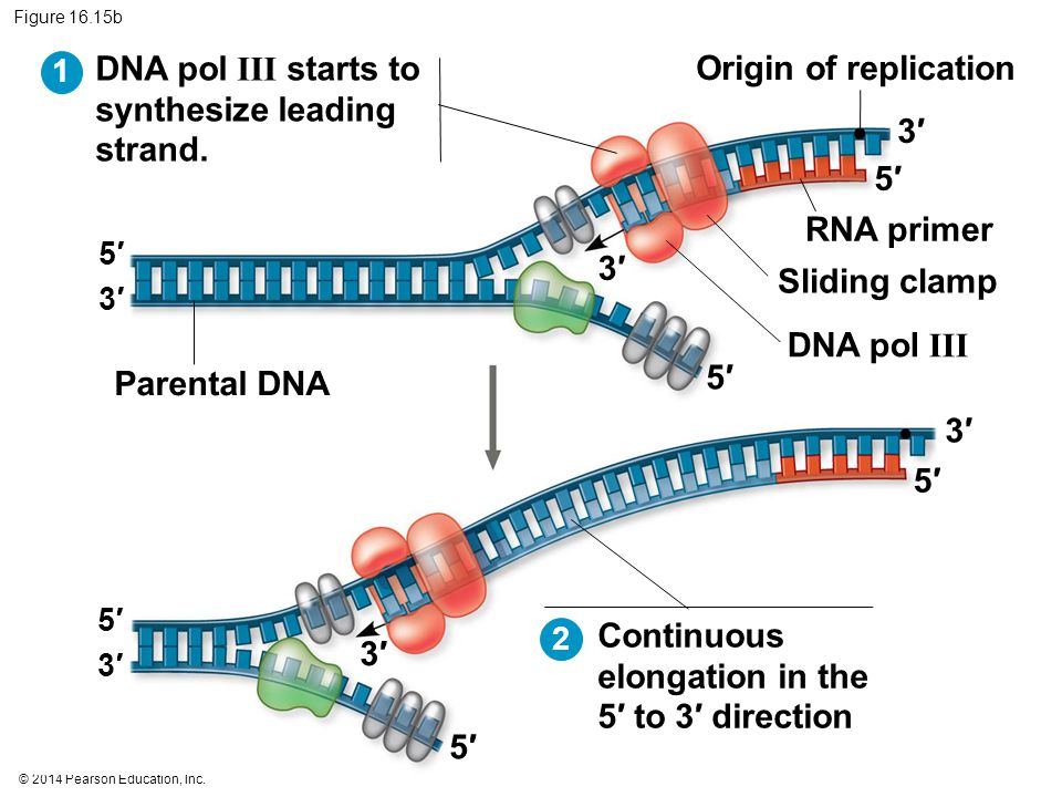 © 2014 Pearson Education, Inc. Figure 16.15b Parental DNA Origin of replication RNA primer Sliding clamp DNA pol III 5′5′ 5′5′ 5′5′ 3′3′ 3′3′ 3′3′ DNA