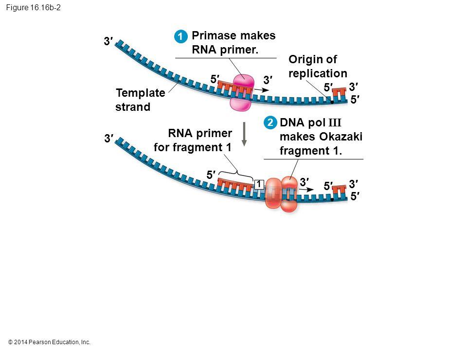 © 2014 Pearson Education, Inc. Figure 16.16b-2 5′5′ 3′3′ 5′5′ 5′5′ 3′3′ 3′3′ Template strand Origin of replication Primase makes RNA primer. 1 5′5′ 3′
