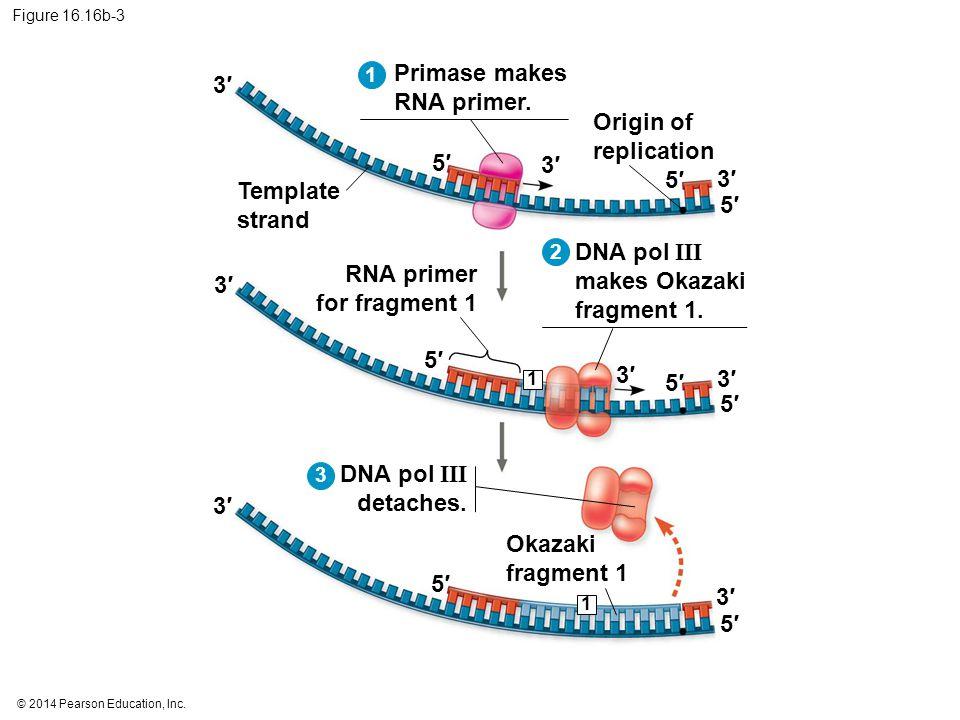 © 2014 Pearson Education, Inc. Figure 16.16b-3 5′5′ 3′3′ 5′5′ 5′5′ 3′3′ 3′3′ Template strand Origin of replication Primase makes RNA primer. 1 5′5′ 3′