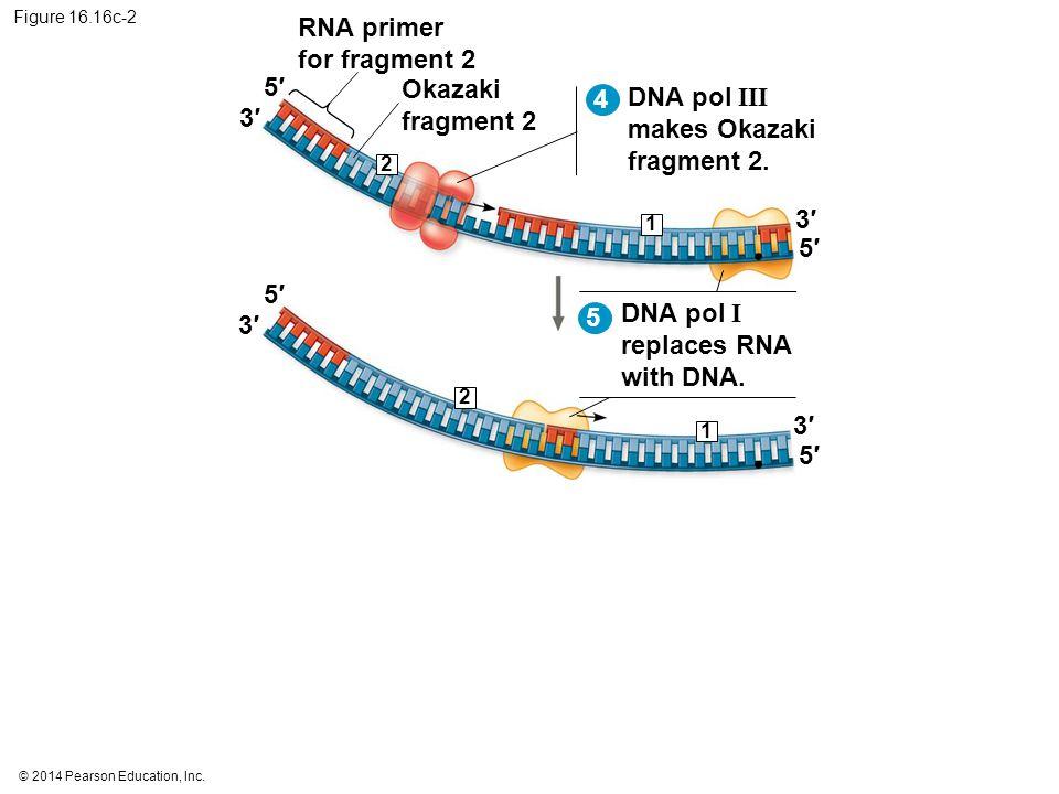 © 2014 Pearson Education, Inc. Figure 16.16c-2 DNA pol III makes Okazaki fragment 2. 2 5′5′ 3′3′ 5′5′ 3′3′ 4 RNA primer for fragment 2 Okazaki fragmen