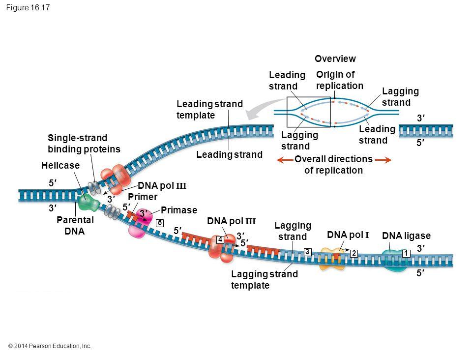 © 2014 Pearson Education, Inc. Figure 16.17 Overview 5′5′ 3′3′ Lagging strand Leading strand Lagging strand Leading strand Leading strand template Ori