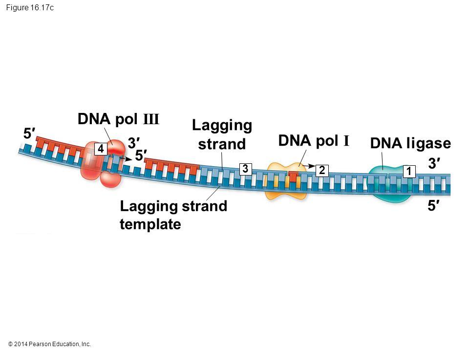 © 2014 Pearson Education, Inc. Figure 16.17c 4 3 2 1 5′5′ 5′5′ 3′3′ 5′5′ 3′3′ Lagging strand DNA pol III DNA pol I DNA ligase Lagging strand template