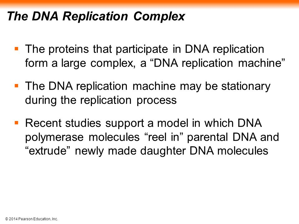 """© 2014 Pearson Education, Inc. The DNA Replication Complex  The proteins that participate in DNA replication form a large complex, a """"DNA replication"""