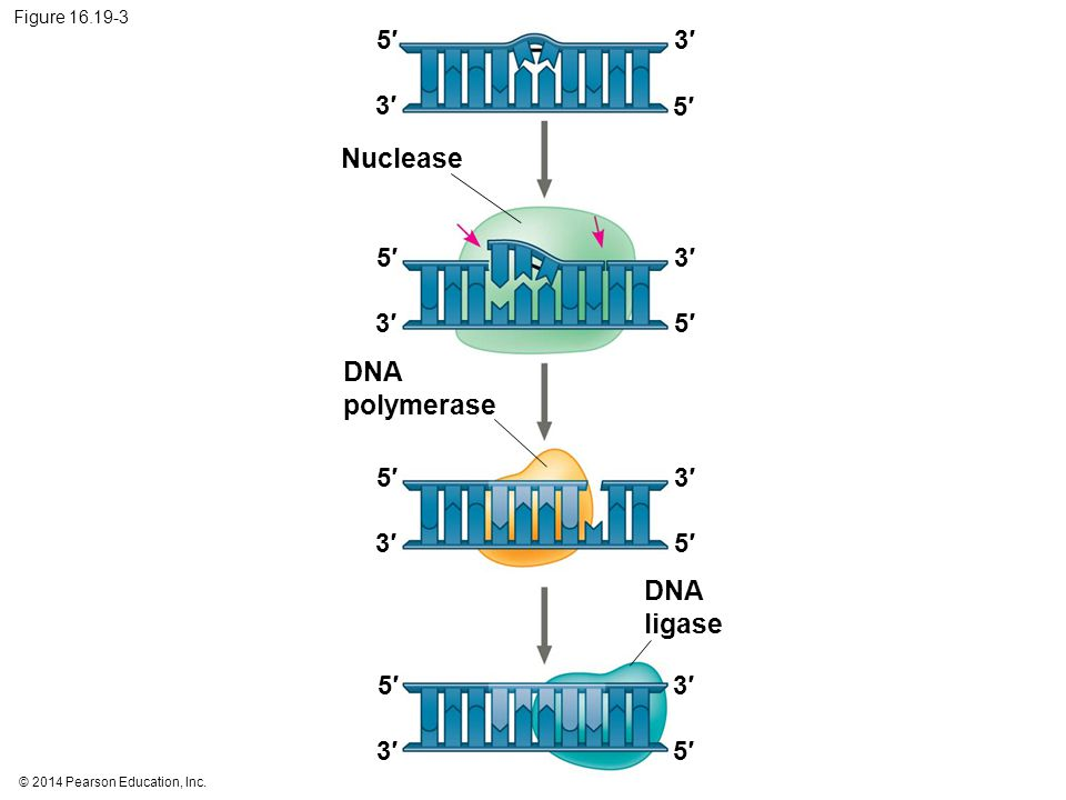 © 2014 Pearson Education, Inc. Figure 16.19-3 Nuclease 5′5′ 5′5′ 5′5′ 5′5′ 3′3′ 3′3′ 3′3′ 3′3′ 5′5′ 5′5′ 3′3′ 3′3′ DNA polymerase DNA ligase 5′5′ 3′3′