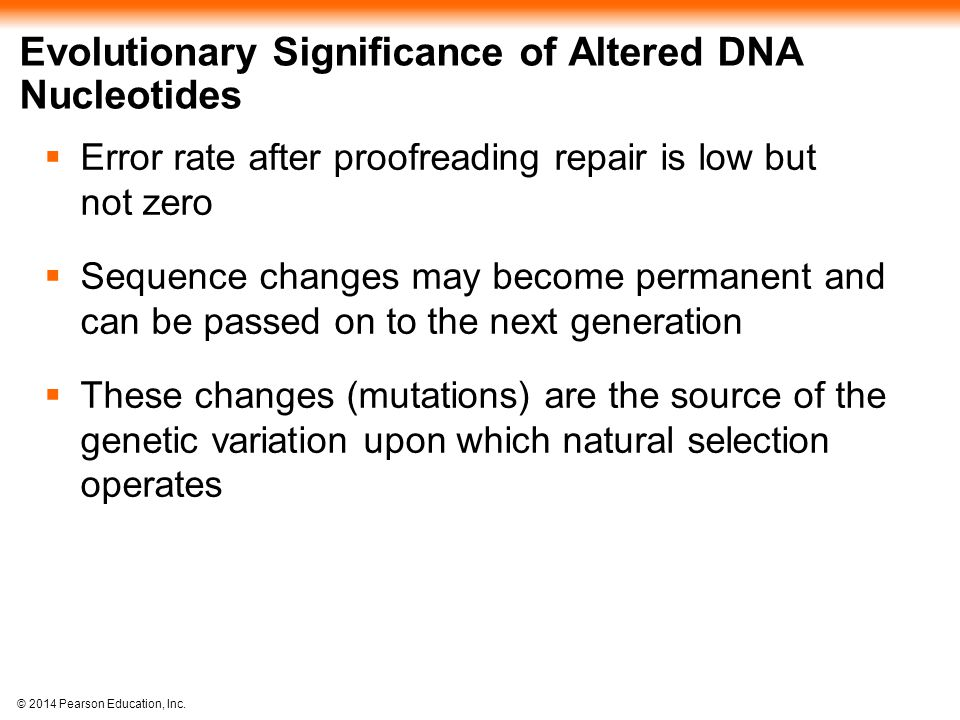 © 2014 Pearson Education, Inc. Evolutionary Significance of Altered DNA Nucleotides  Error rate after proofreading repair is low but not zero  Seque