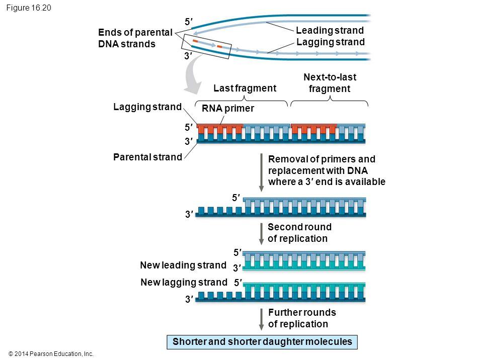 © 2014 Pearson Education, Inc. Figure 16.20 Ends of parental DNA strands Lagging strand Parental strand RNA primer Last fragment Next-to-last fragment