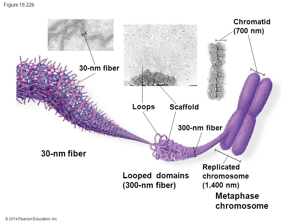 © 2014 Pearson Education, Inc. Figure 16.22b 30-nm fiber Looped domains (300-nm fiber) Metaphase chromosome 30-nm fiber Loops Scaffold 300-nm fiber Ch