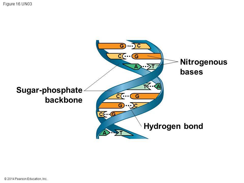© 2014 Pearson Education, Inc. Figure 16.UN03 Sugar-phosphate backbone Nitrogenous bases Hydrogen bond G G G G G C C C C C AT T A A T