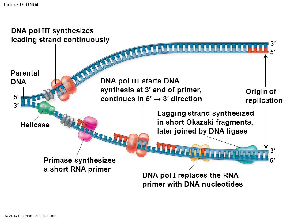 © 2014 Pearson Education, Inc. Figure 16.UN04 DNA pol III synthesizes leading strand continuously Parental DNA Helicase Primase synthesizes a short RN
