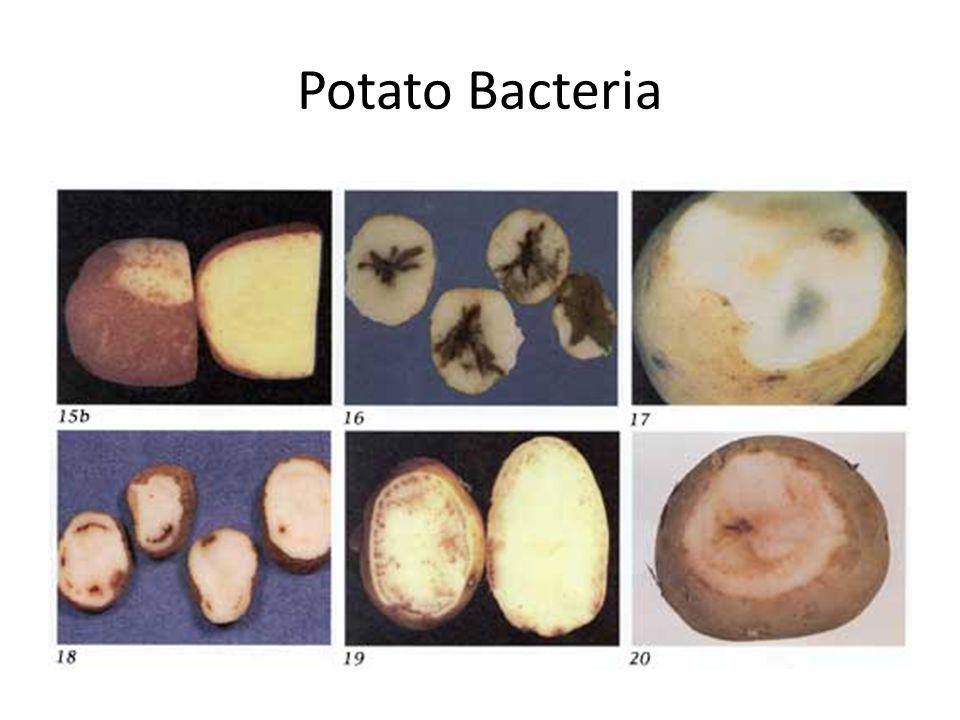 Potato Bacteria