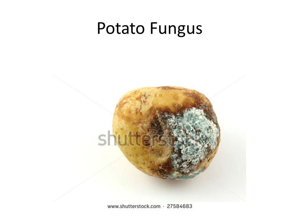 Potato Fungus
