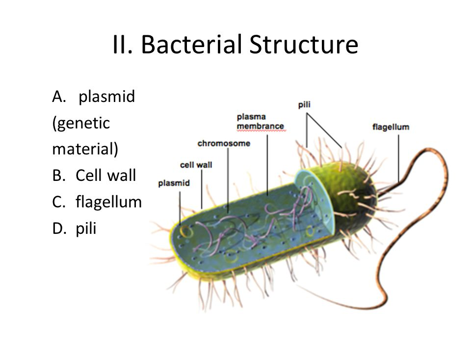 II. Bacterial Structure A.plasmid (genetic material) B.Cell wall C.flagellum D.pili
