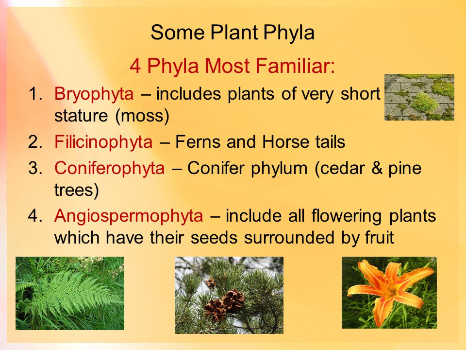 Some Plant Phyla 4 Phyla Most Familiar: 1.Bryophyta – includes plants of very short stature (moss) 2.Filicinophyta – Ferns and Horse tails 3.Coniferophyta – Conifer phylum (cedar & pine trees) 4.Angiospermophyta – include all flowering plants which have their seeds surrounded by fruit