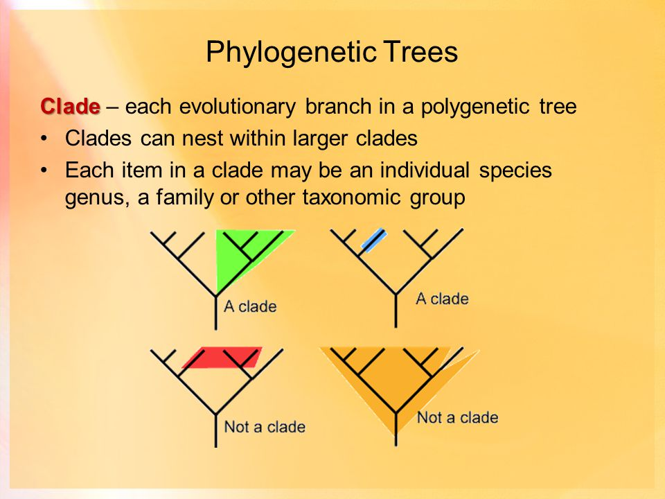Phylogenetic Trees Clade Clade – each evolutionary branch in a polygenetic tree Clades can nest within larger clades Each item in a clade may be an individual species genus, a family or other taxonomic group
