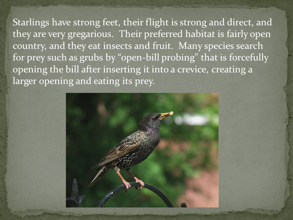 Starlings have strong feet, their flight is strong and direct, and they are very gregarious.