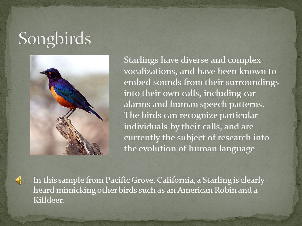In this sample from Pacific Grove, California, a Starling is clearly heard mimicking other birds such as an American Robin and a Killdeer.