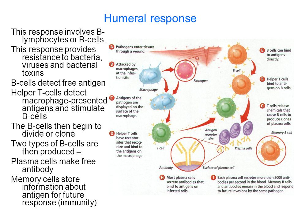 Humeral response This response involves B- lymphocytes or B-cells. This response provides resistance to bacteria, viruses and bacterial toxins B-cells