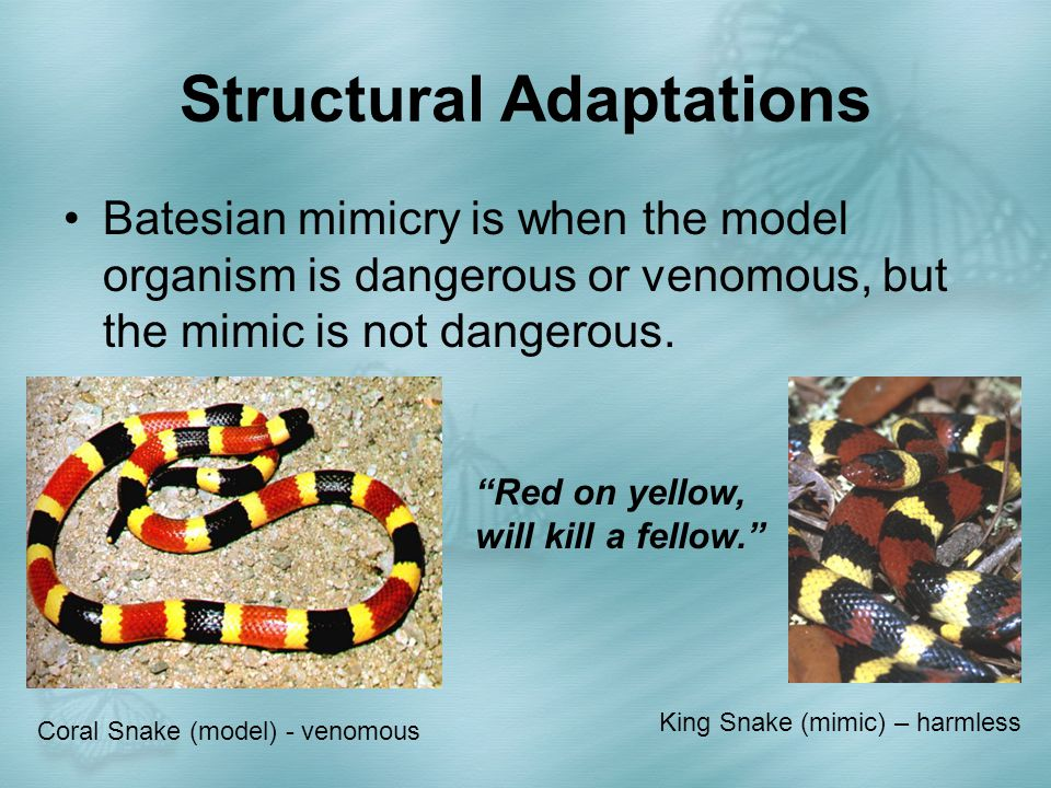 Structural Adaptations Batesian mimicry is when the model organism is dangerous or venomous, but the mimic is not dangerous. King Snake (mimic) – harm