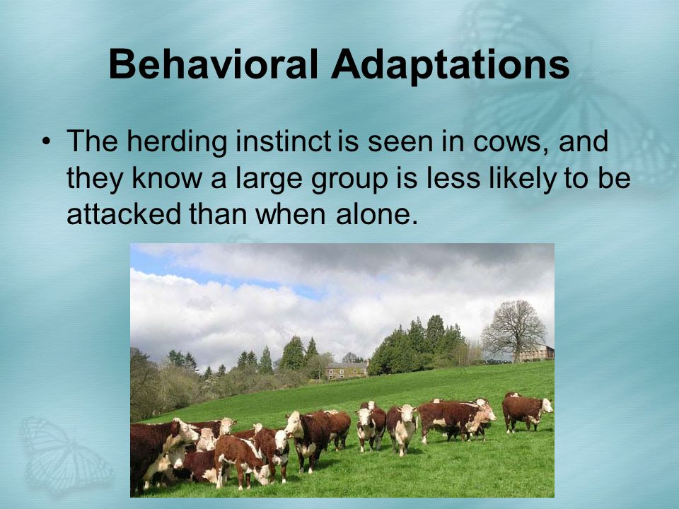 Behavioral Adaptations The herding instinct is seen in cows, and they know a large group is less likely to be attacked than when alone.