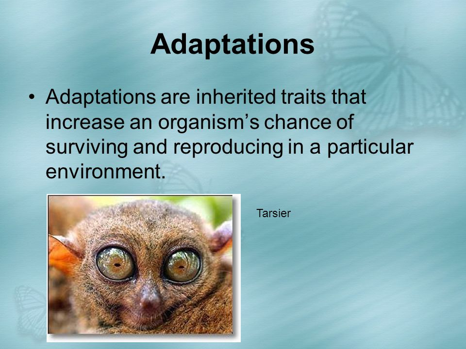 Adaptations Adaptations are inherited traits that increase an organism's chance of surviving and reproducing in a particular environment. Tarsier