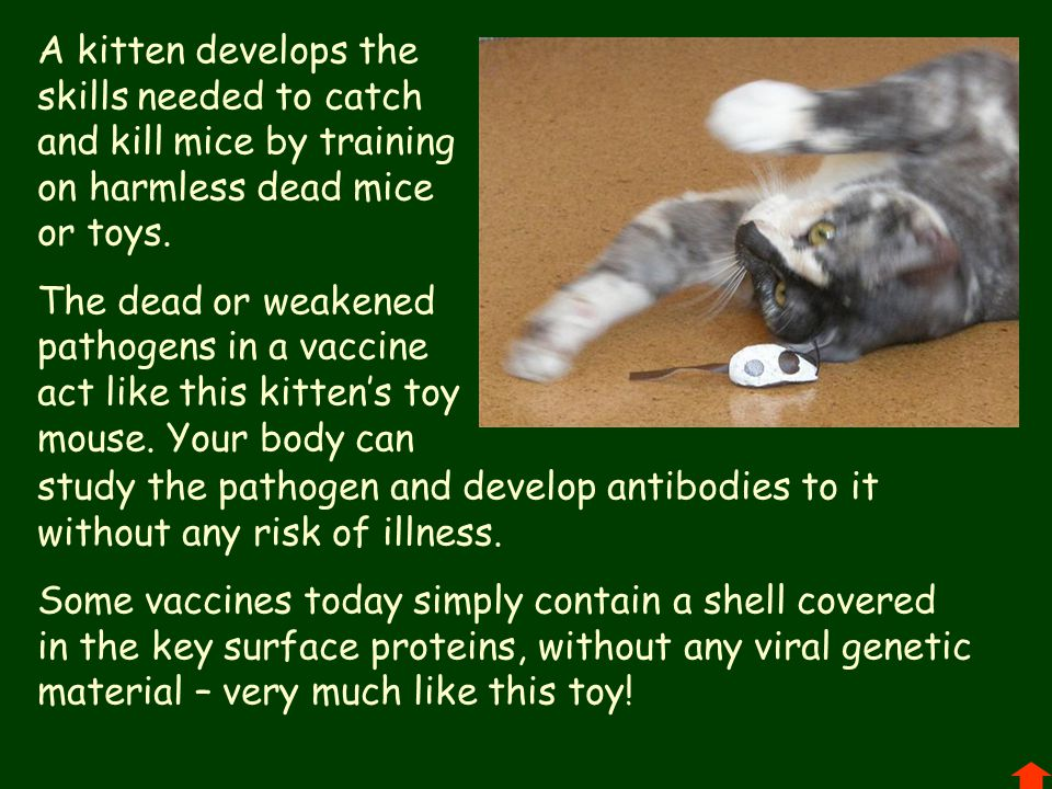 A kitten develops the skills needed to catch and kill mice by training on harmless dead mice or toys.