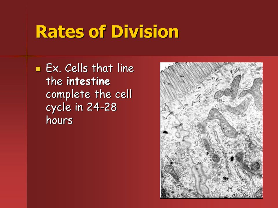 Rates of Division Ex.Liver cells reproduce only once a year Ex.