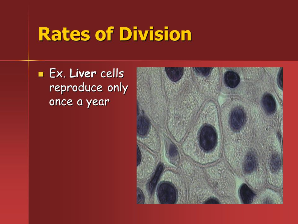 Rates of Division Ex. Nerve cells never reproduce Ex. Nerve cells never reproduce