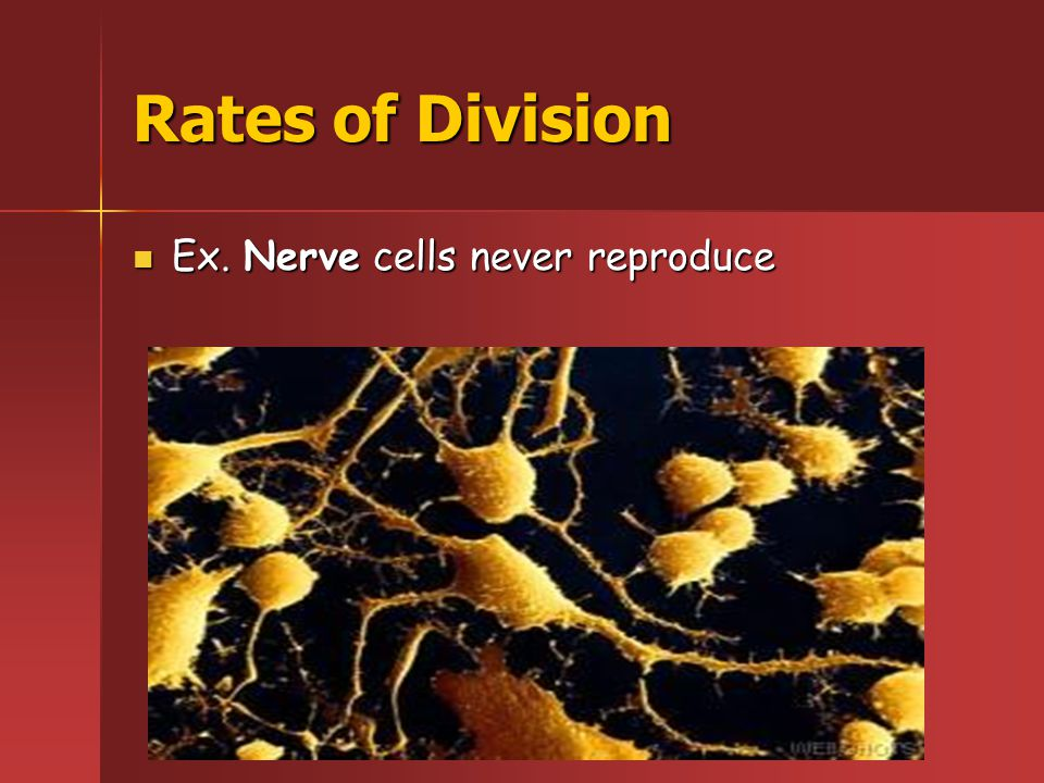 Rates of Division Ex.Frog embryo cells reproduce in less than an hour Ex.