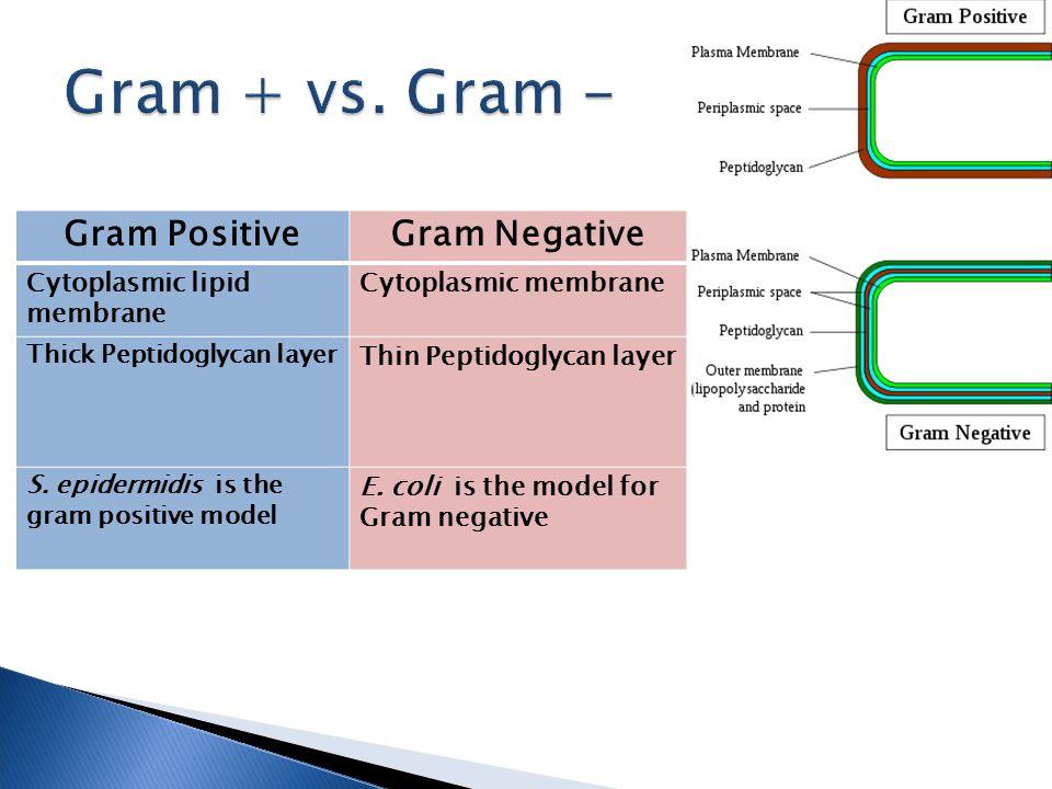 Gram PositiveGram Negative Cytoplasmic lipid membrane Cytoplasmic membrane Thick Peptidoglycan layer Thin Peptidoglycan layer S.