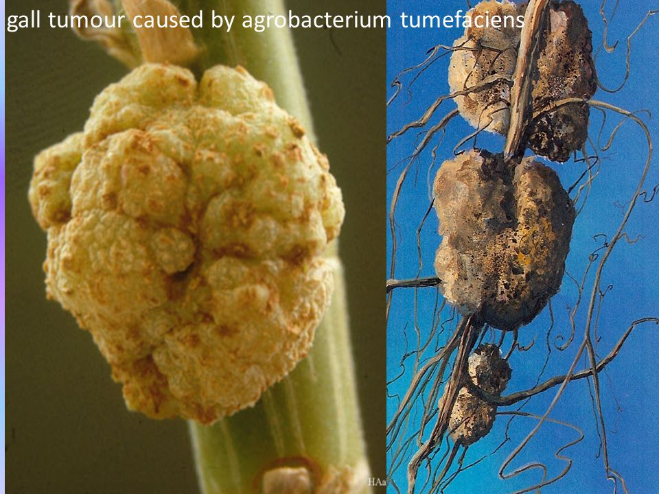 gall tumour caused by agrobacterium tumefaciens