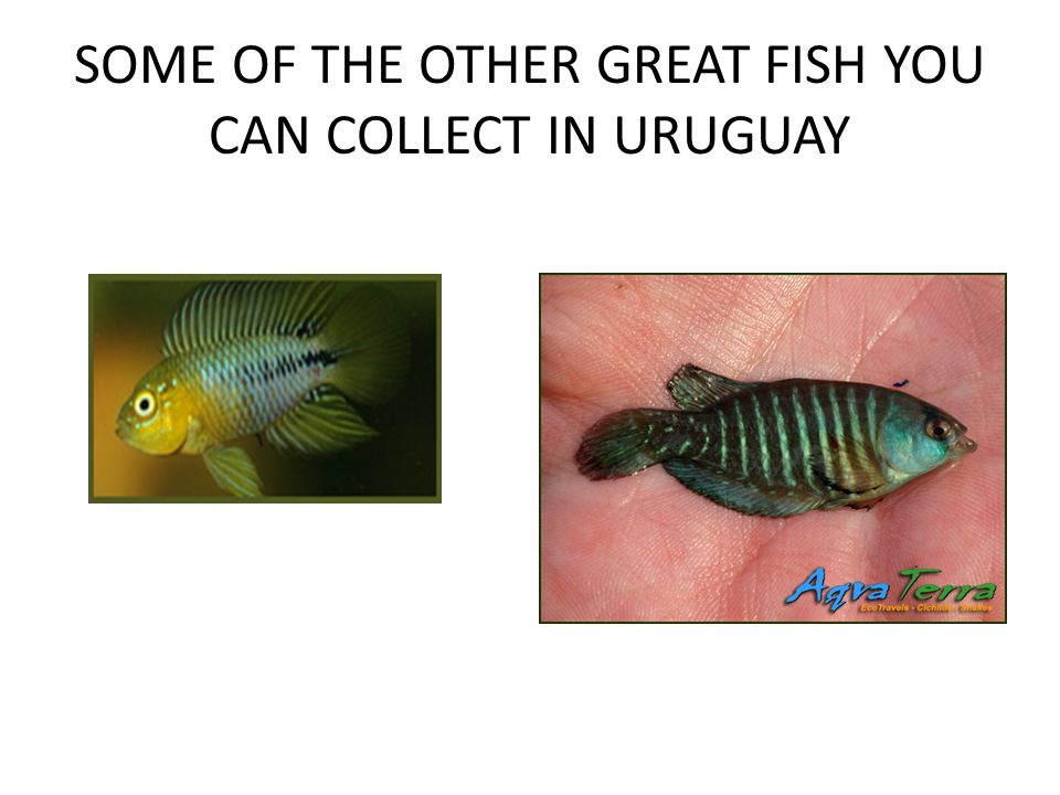 SOME OF THE OTHER GREAT FISH YOU CAN COLLECT IN URUGUAY