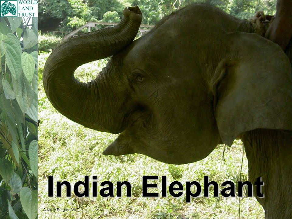 Interesting facts: Indian Elephants have been used by people to clear logs in the forest, carry heavy objects, and entertain tourists for many years.