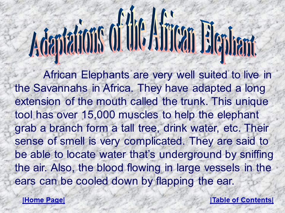African Elephants are very well suited to live in the Savannahs in Africa.