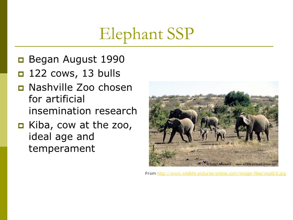 Elephant SSP  Began August 1990  122 cows, 13 bulls  Nashville Zoo chosen for artificial insemination research  Kiba, cow at the zoo, ideal age an