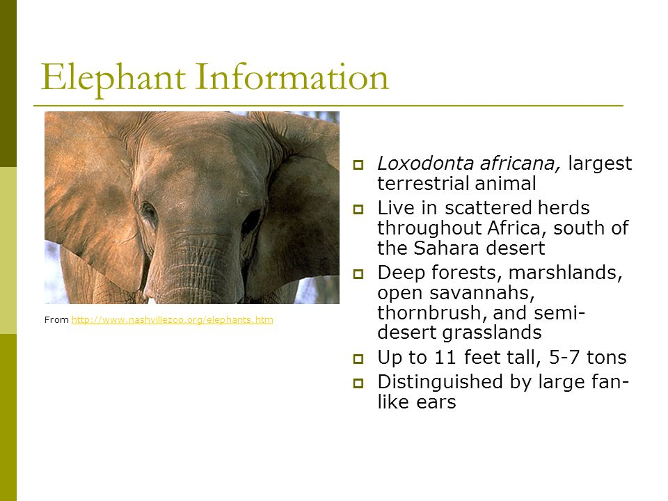 Elephant Information  Loxodonta africana, largest terrestrial animal  Live in scattered herds throughout Africa, south of the Sahara desert  Deep f