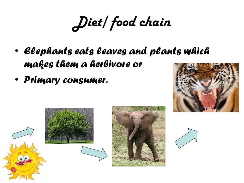 Diet/ food chain Elephants eats leaves and plants which makes them a herbivore or Primary consumer.