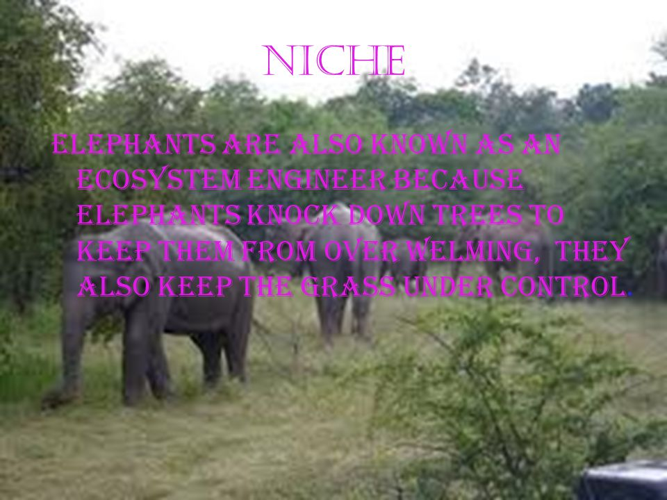 Learned behaviors Elephants flap their ears to keep cool Elephants like to role in mud to keep themselves cool Elephants use their trunks to spray water on them Elephants can be taught to paint pictures