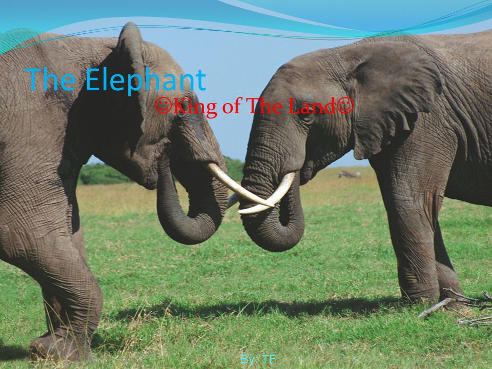 The Elephant King of The Land By: TF