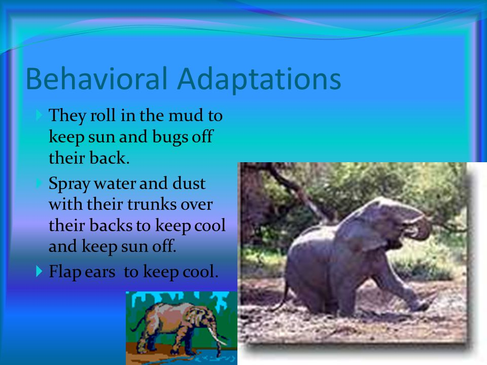 Physical Adaptations Big ears-Help it cool down. Long Trunk-Helps it reach food. Long Tusks-Helps it defend itself. Size-Frightens enemies.