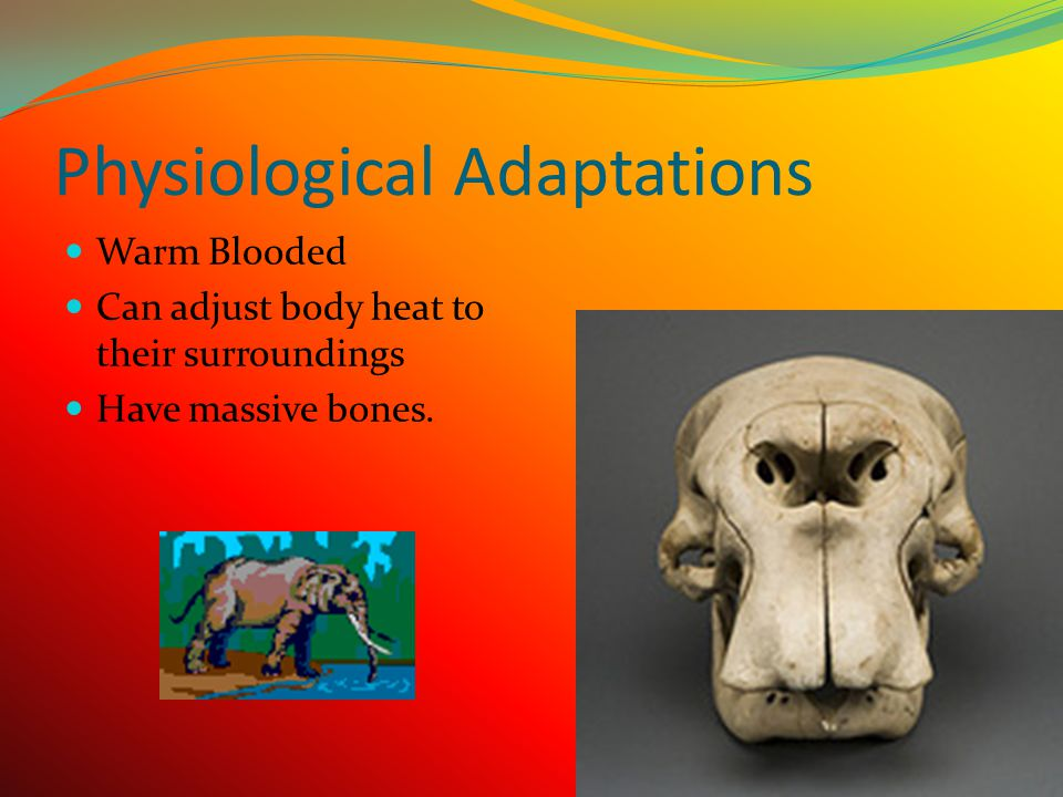 Behavioral Adaptations  They roll in the mud to keep sun and bugs off their back.  Spray water and dust with their trunks over their backs to keep c