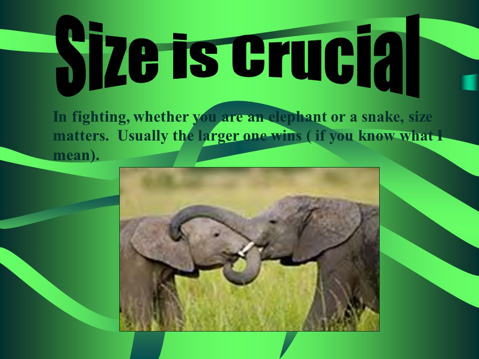 In fighting, whether you are an elephant or a snake, size matters.