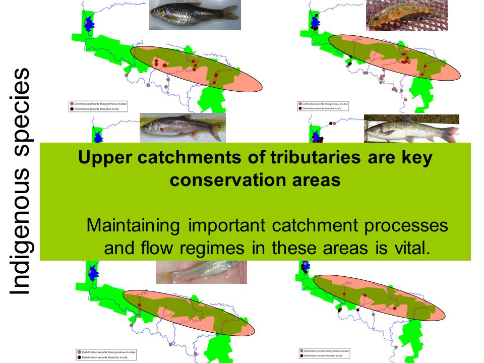 Indigenous species Upper catchments of tributaries are key conservation areas Maintaining important catchment processes and flow regimes in these areas is vital.