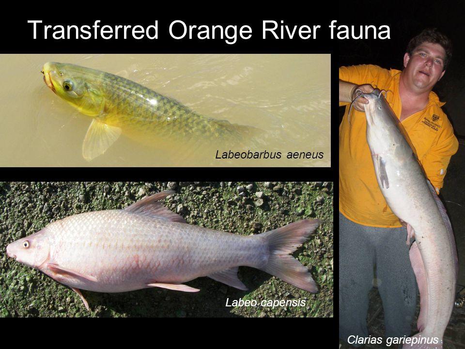 Transferred Orange River fauna Labeo capensis Labeobarbus aeneus Clarias gariepinus