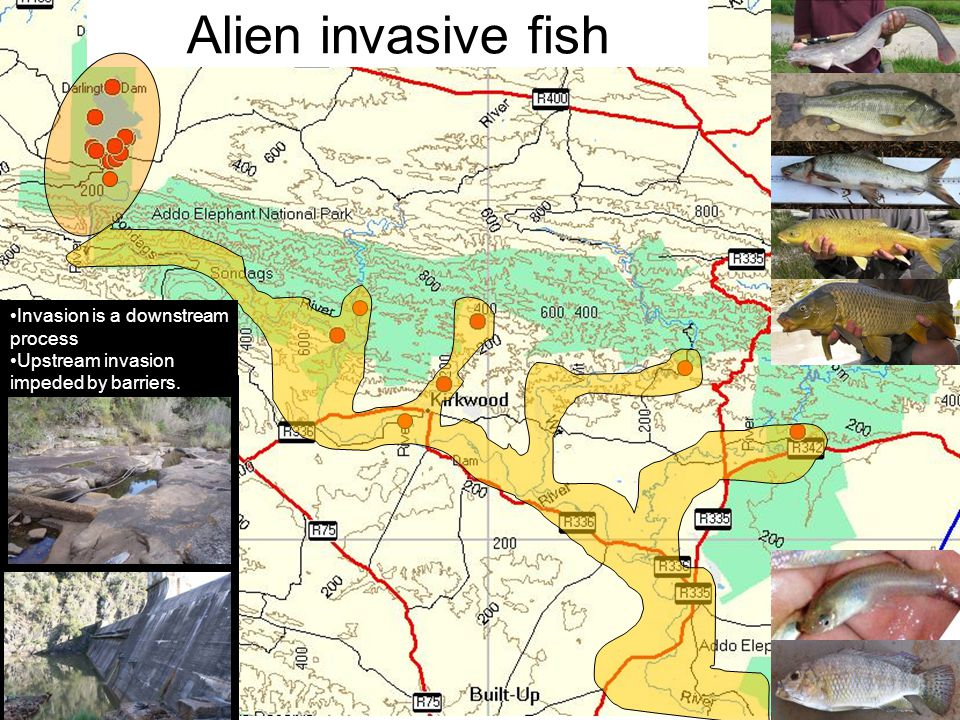Alien invasive fish Invasion is a downstream process Upstream invasion impeded by barriers.