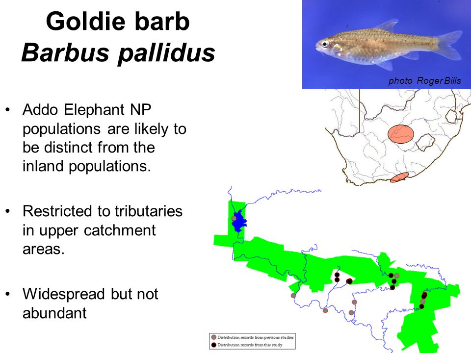 Goldie barb Barbus pallidus Addo Elephant NP populations are likely to be distinct from the inland populations.